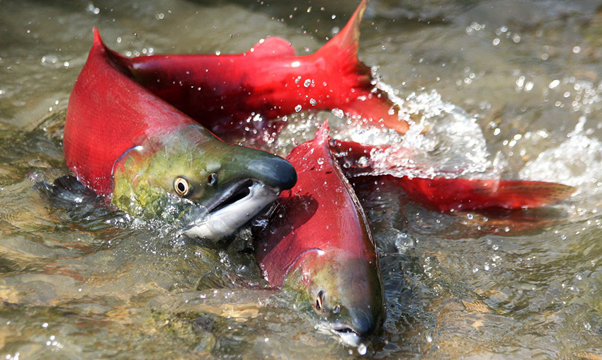 Рыба нерка: где обитает и чем полезна