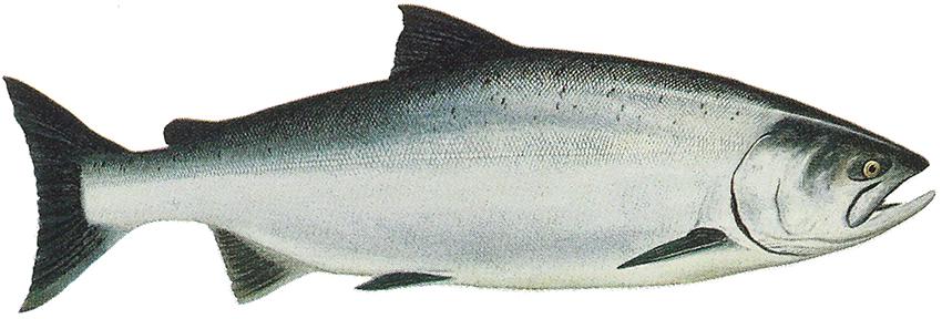 Рыба чавыча - яркий представитель лососевых