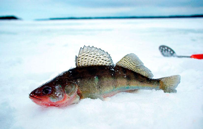 Как ловить судака на блесну Вильямс зимой