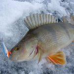 Как ловить на балансир зимой окуня — выбор балансира, тактика ловли и советы от рыбаков