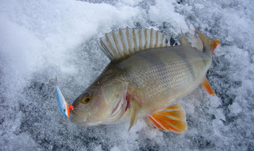Как ловить на балансир зимой окуня - выбор балансира, тактика ловли и советы от рыбаков