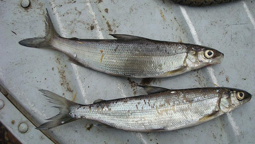 Рыба тугун или тугунок - среда обитания, описание, вылов и приготовление