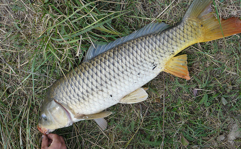 Все о том как ловить сазана на донку с берега - оснастка, техника ловли и советы от рыбаков