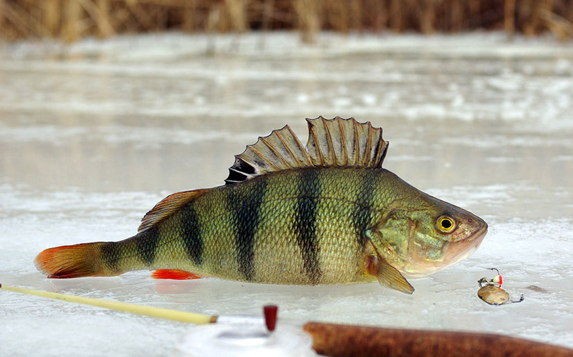 Снасть для зимней рыбалки на окуня - виды зимних снастей, приманки и отзывы от рыбаков
