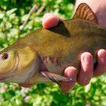 Все о том как ловить линя в мае на поплавочную удочку — оснастка, приманка и техника ловли