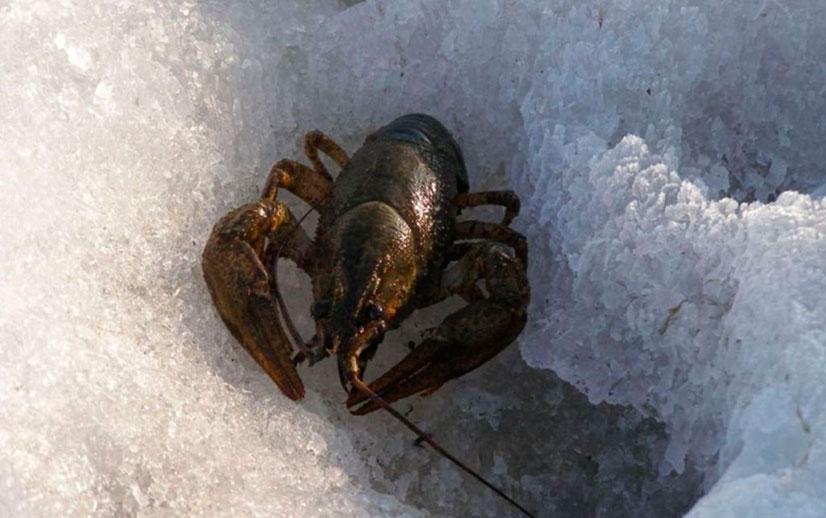 Ловим раков зимой - особенности, выбор снасти и приманки