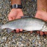 Семейство сиговые — информация о видах рыб, образе жизни и особенностях ловли