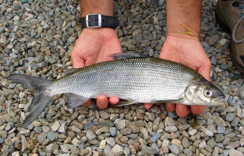 Семейство сиговые - информация о видах рыб, образе жизни и особенностях ловли
