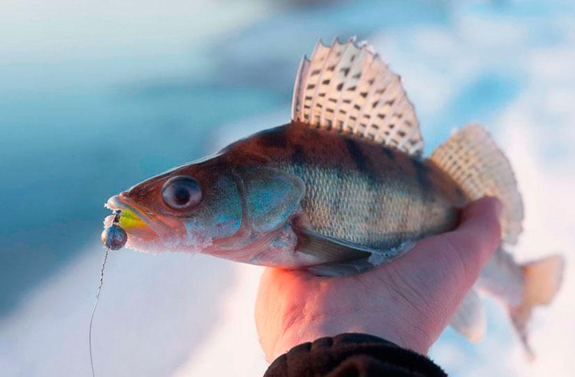 Рыба берш - описание и особенности рыбалки