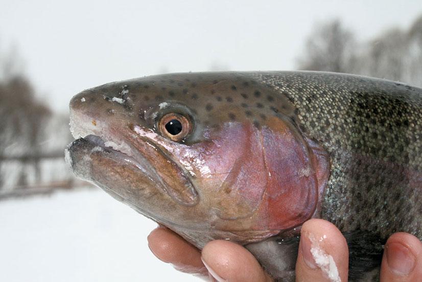 Рыбалка зимой на форель на платных водоемах