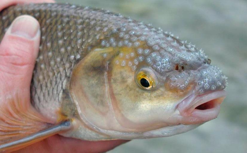 Рыба вырезуб - описание и рыбалка