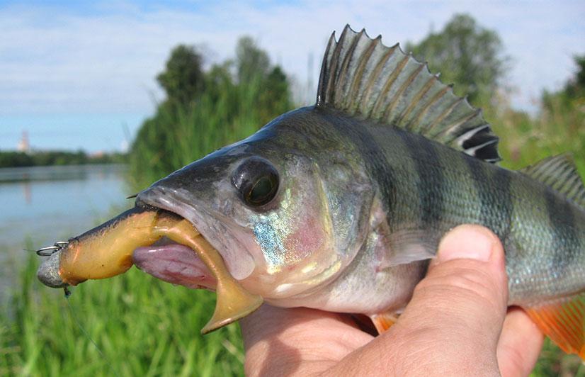 Окунь - описание, рацион питания, рыбалка