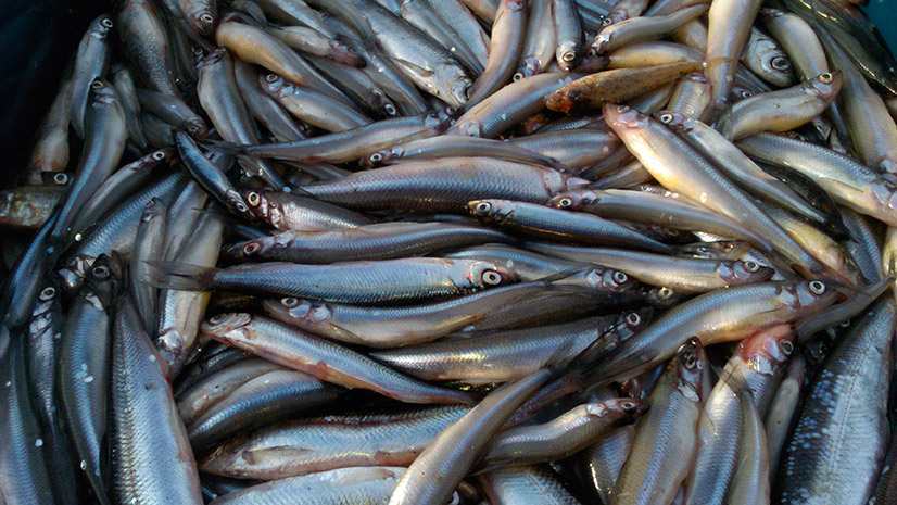 Рыба корюшка — подробное описание, среда обитания, поиск и ловля
