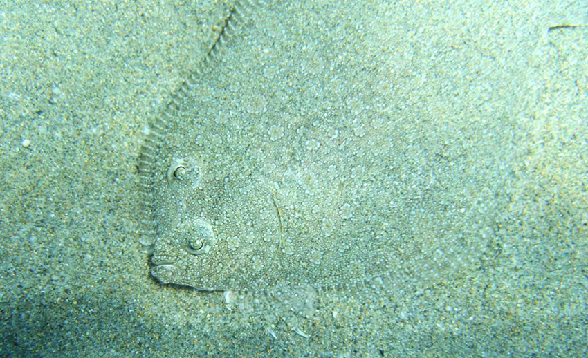 plaice_in_sand