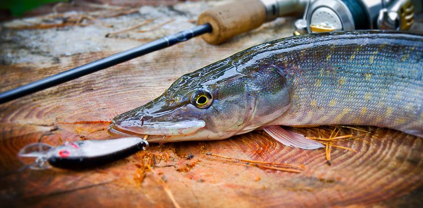Щука в декабре на спиннинг - секреты успешной рыбалки