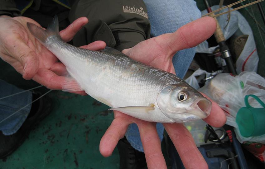 Шамайка - царская рыба