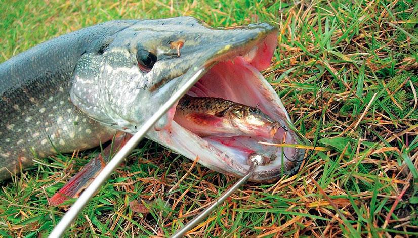 На каких рыб можно еще сделать поставушку?