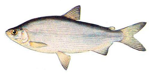 ryba-pelyad