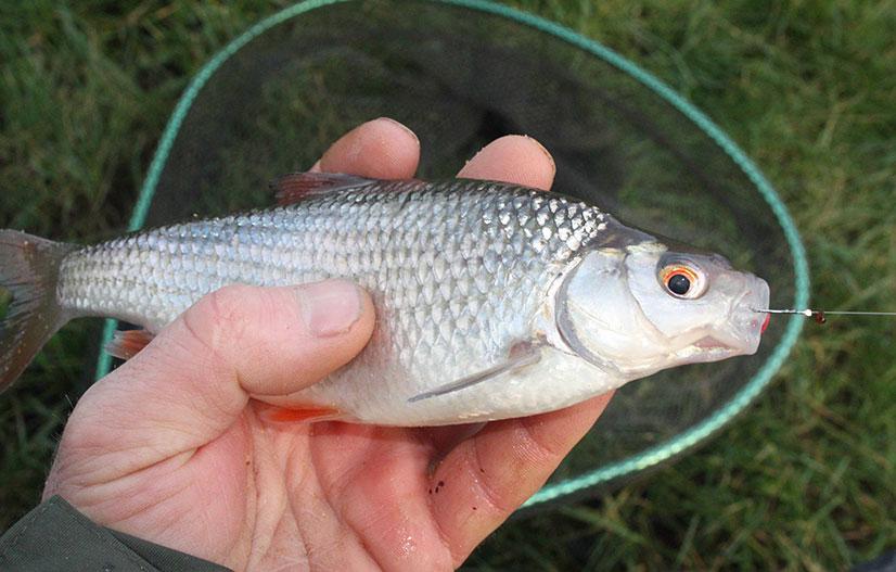 Рыба сорожка (или плотва обыкновенная)
