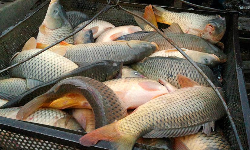 Рыба карп - калорийность, состав, как приготовить