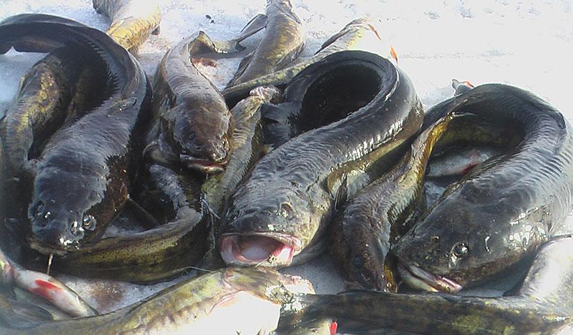 Рыбалка на налима в декабре