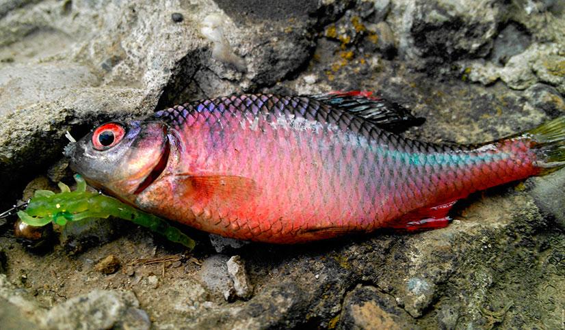 Рыба горчак - описание, особенности поведения, ловля горчака