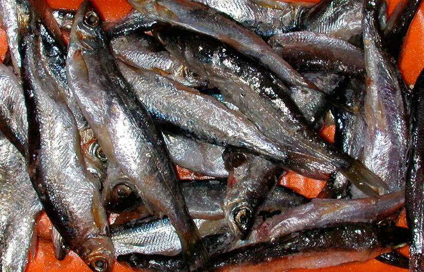 Тугун (сосьвинская селедка) - описание и рыбалка