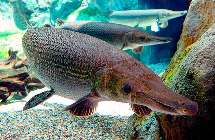 Аллигаторовая щука - описание, особенности поведения, рыбалка
